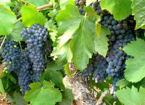 Aude. Wine estate of 120 hectares offers a vineyard of 102 hectares. The name Corbieres wine country balance and grape varieties of wine. House with a garden and a pool. A cottage renovated competes the living spaces. The outbuildings include a chai ...